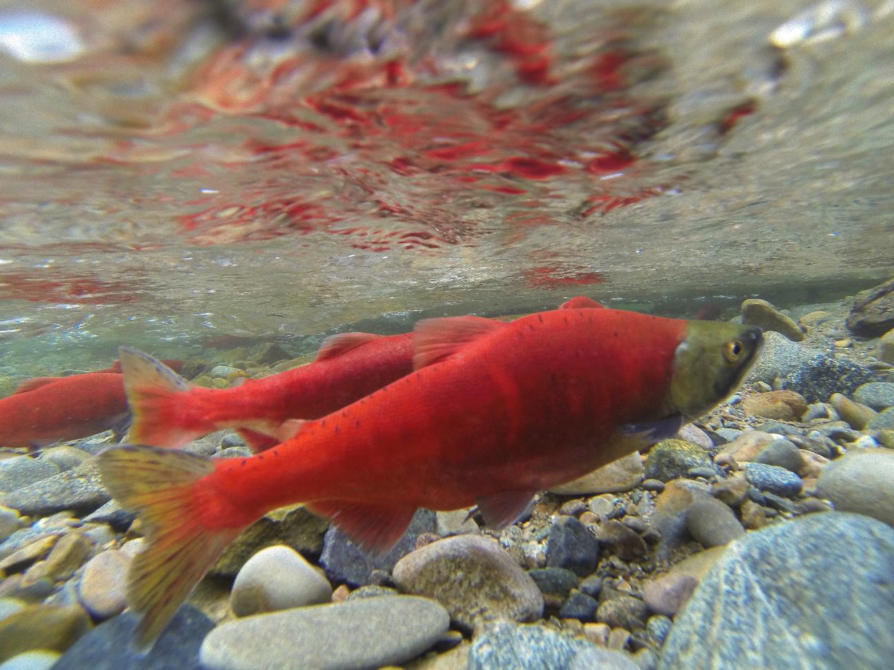 1000 images about kokanee salmon on pinterest trips for Salmon fishing in idaho