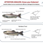 Kokanee Rainbow Flyer